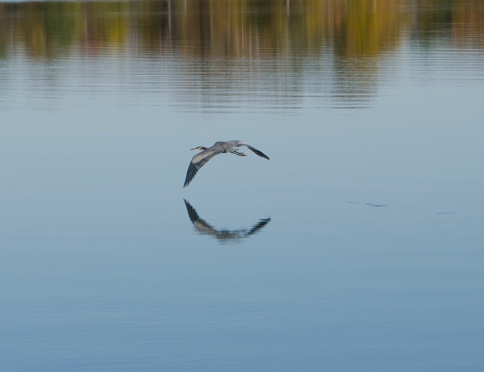 Blue Heron in flight with ciruclar reflection in water, photo by Brian Klocke