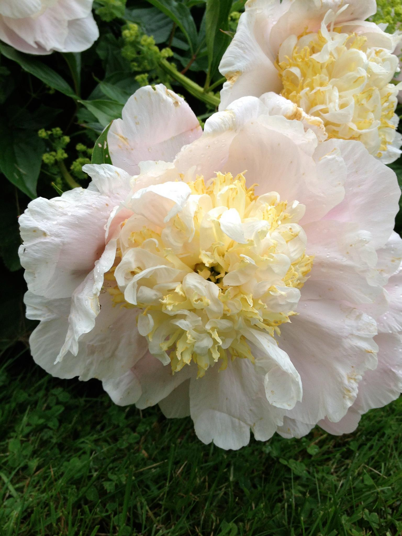 White peony blossom with pink edges to the petal and a yellow center