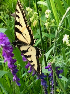 Butterfly with yellow wings on purple wildflowers with green plant stalks in the background