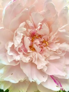 Close up of a peony blossom in full bloom with light pink petals and magenta highlights