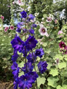 Dark purple blue delphiniums with a white and pink hollyhock in the background, many leaves and some blue sky are visible