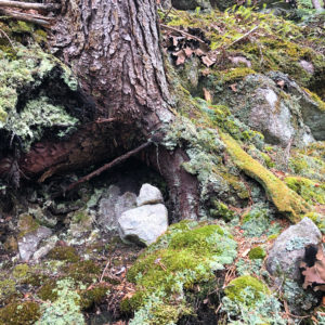 A woods scene including moss, the roots of a hemlock tree, and quartz rocks